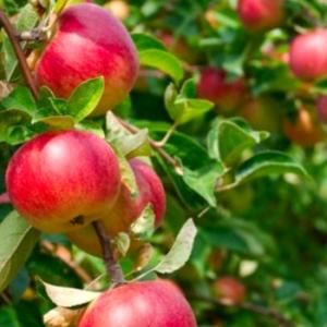 cydr jabłka